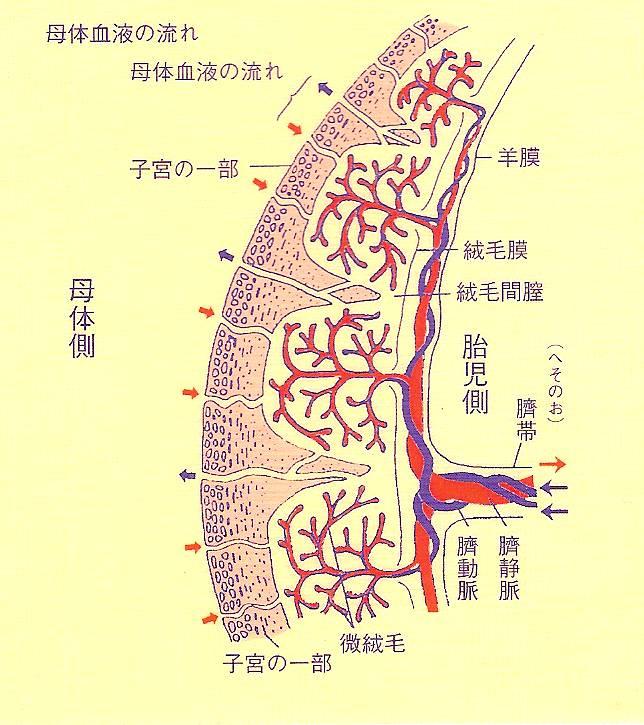 胎盤 | [組圖+影片] 的最新詳盡資料** (必看!!) - www.go2tutor.com